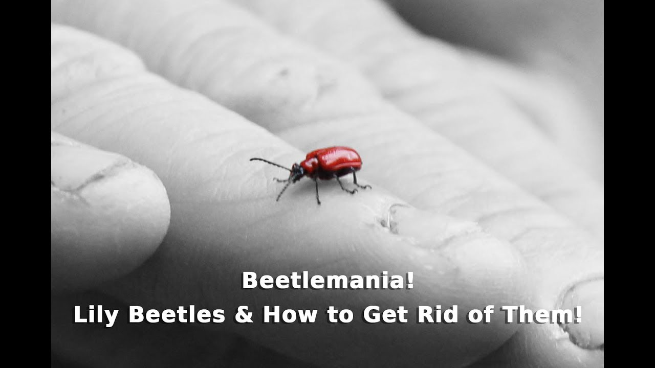 Wood beetles how to get rid of them